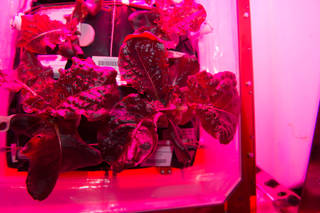 "Astronauts on the International Space Station are ready to sample their harvest of a crop of ""Outredgeous"" red romaine lettuce from the Veggie plant growth system that tests hardware for growing vegetables and other plants in space. Credits: NASA"